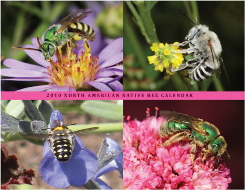 SPECTACULAR PHOTOGRAPHY of entomologist Rollin Coville, who received his doctorate in entomology from UC Berkeley, graces the 2010 Native Bees Calendar, a fundraising project of the Xerces Society and the Great Sunflower Project. (Photos courtesy of Rollin Coville)