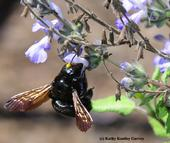 A female Valley carpenter bee, Xylocopa varipuncta, forages on grape-scented sage, Salvia melissodora. Note the