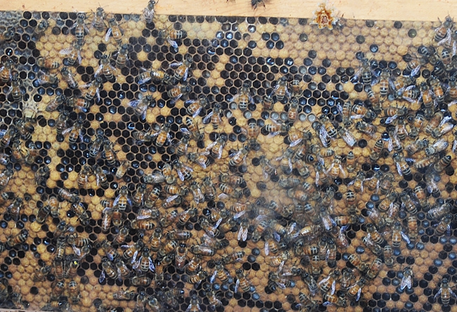 Honey bees going about their bees-ness. (Photo by Kathy Keatley Garvey)