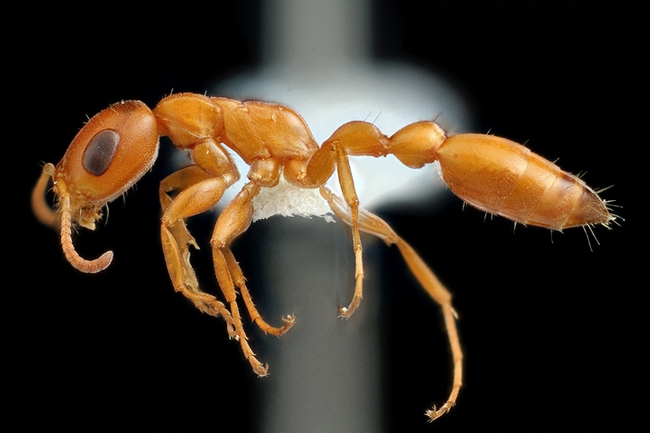 Alex Wild's image of a Californian Pseudomyrmex twig ant.  This is one of the images in