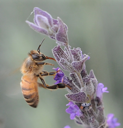 HONEY BEE nectaring lavender. (Photo by Kathy Keatley Garvey)