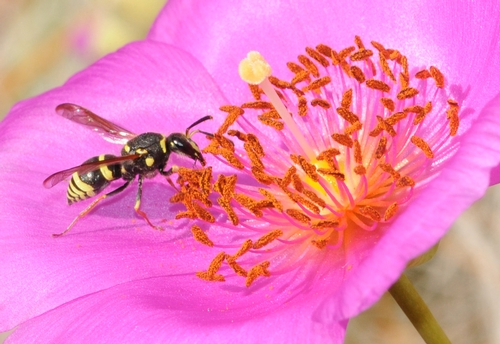 MASON WASP sipping nectar from a rock purslane. The wasp is from the family Vespidae and subfamily Eumeninae. It's probably from the genus Ancistrocerus, according to Robbin Thorp, emeritus professor of entomology at UC Davis.  (Photo by Kathy Keatley Garvey)