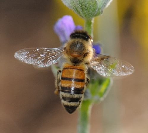 SILVERY WINGS, none the worse for wear, of a honey bee. She is nectaring lavender. (Photo by Kathy Keatley Garvey)