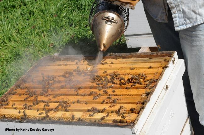 Smoking a hive. (Photo by Kathy Keatley Garvey)
