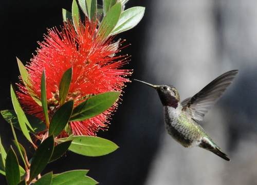 HUMMINGBIRDS are attracted to the red bottlebrush. Like the mutton bird sedge (top photo), the floral spikes  resemble bottle brushes. (Photo by Kathy Keatley Garvey)