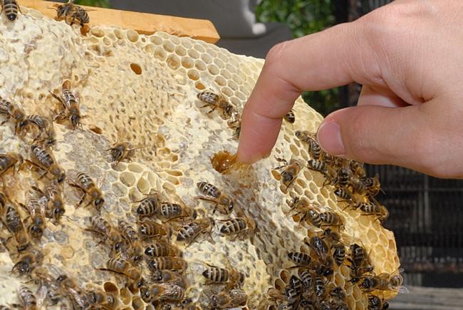 Beekeepers like to sample honey fresh from a comb. (Photo by Kathy Keatley Garvey)