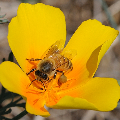 GOLDEN MOMENT--A honey bee nectars a California poppy, one of the three plants featured at the Campus Buzzway. (Photo by Kathy Keatley Garvey)