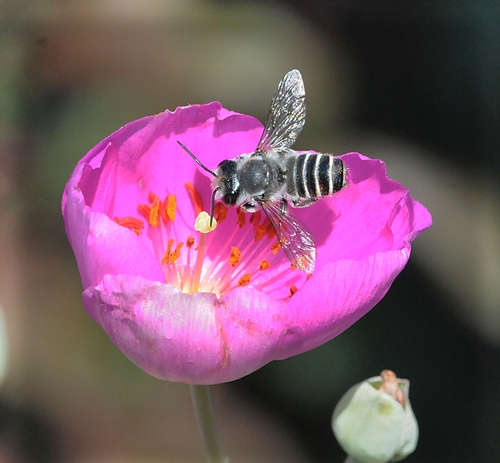 THIS is a male leafcutting bee, Megachile sp., as identified by native pollinator specialist Robbin Thorp, emeritus professor of entomology at UC Davis. It is nectaring rock purslane, which has a poppylike blossom. (Photo by Kathy Keatley Garvey)