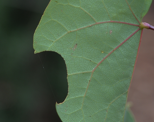 THIS cut in a redbud tree leaf is the work of a female leafcutter bee, who used it for her solitary ground nest.(Photo by Kathy Keatley Garvey)