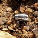 A Racing Stripe Darkling Beetle at Epupa Falls, Namibia. (Photo by Hans Hillewaert, Courtesy of Wikipedia)