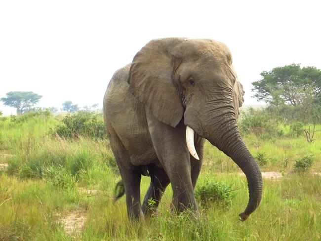 Entomologist James R. Carey also took an interest in elephants on his African Odyssey. This is an African elephant in Murchison Falls National Park, Uganda. (Photo by Patty Carey)
