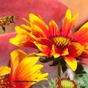 A honey bee heading for the blanket flower, Gaillardia. (Photo by Kathy Keatley Garvey)