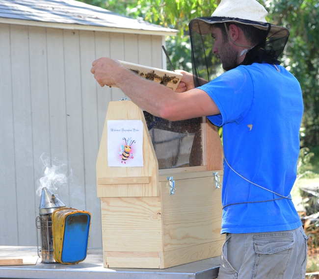 Staff research associate Billy Synk of the Harry H. Laidlaw Jr. Honey Bee Research Facility, UC Davis, opening the Buzzingham Palace. (Photo by Kathy Keatley Garvey)