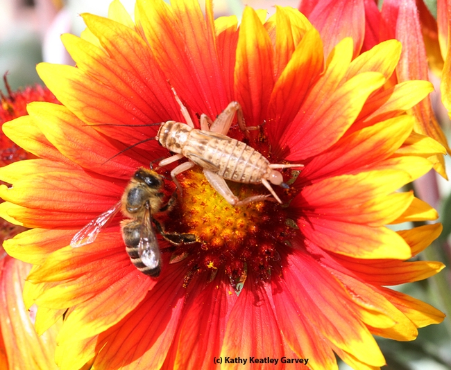 A honey bee and a cricket sharing the same blanket flower. (Photo by Kathy Keatley Garvey)