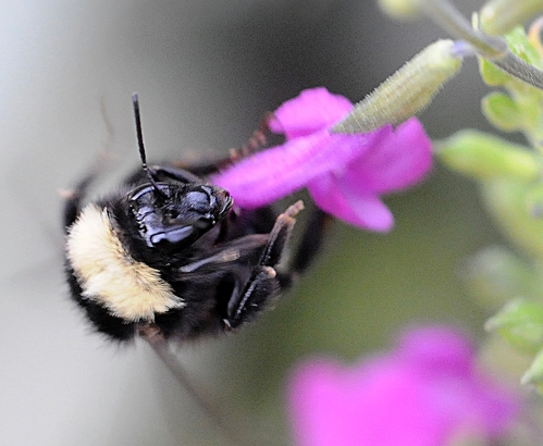 Bombus californicus