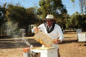 Staff research associate/beekeeper Billy Synk tending the hives at the Harry H. Laidlaw Jr. Honey Bee Research Facility, UC Davis. (Photo by Kathy Keatley Garvey)
