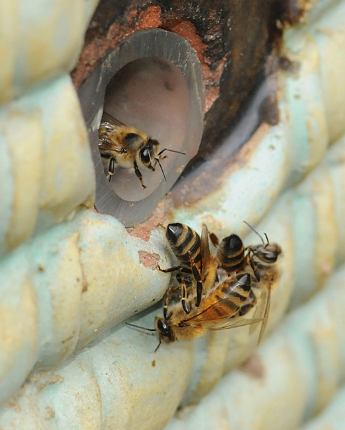 A GUARD watches from the entrance of the hive as a battle ensues below. (Photo by Kathy Keatley Garvey)