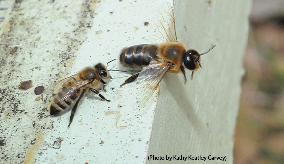 A Linnaean Games question asked of the UC Davis team: What caste of honey bee has the greatest number of ommatidia? The answer is the drone, the male honey bee. Ommatidia are the subunits of a compound eye. This photo shows a worker bee or female (left) and a drone (right). (Photo by Kathy Keatley Garvey)
