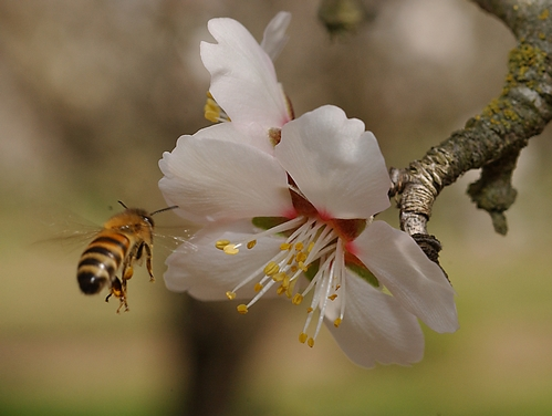 HONEY BEE makes a beeline to an almond blossom on the grounds of the Harry H. Laidlaw Jr. Honey Bee Research Facility at the University of California, Davis. California's annual almond pollination begins in February. (Photo by Kathy Keatley Garvey)