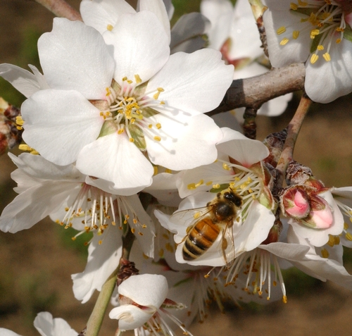HONEY BEE pollinates an almond blossom on the grounds of the Harry H. Laidlaw Jr. Honey Bee Research Facility at the University of California, Davis. The annual almond pollination begins in February. (Photo by Kathy Keatley Garvey)