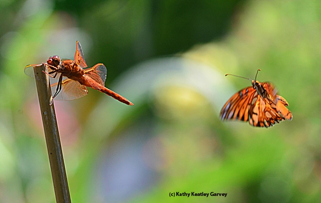 A Gulf Fritillary butterfly checking out a red flameskimmer dragonfly. (Photo by Kathy Keatley Garvey)