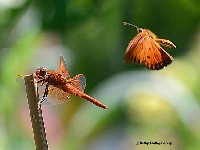 Closer and closer. The Gulf Frit heads straight for the flameskimmer. (Photo by Kathy Keatley Garvey)