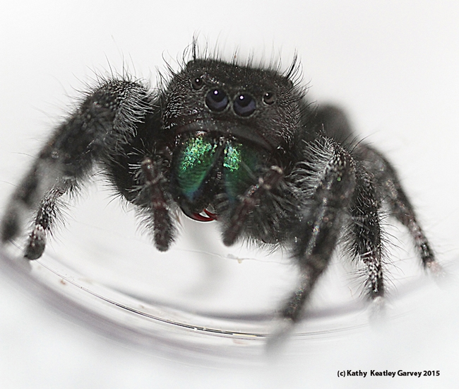 A jumping spider, Phidippus audax,