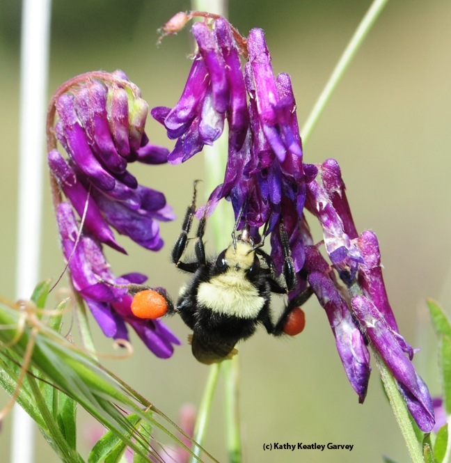 Check out the heavy load of orange pollen that this yellow-faced bumble bee, Bombus vosnesenskii, is packing. It is foraging on hairy vetch. (Photo by Kathy Keatley Garvey)