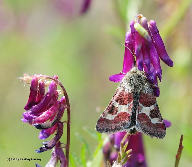 Schinia sueta is a day-flying moth. (Photo by Kathy Keatley Garvey)