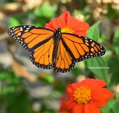 A monarch, Danaus plexippus, forages on a Mexican sunflower, Tithonia. (Photo by Kathy Keatley Garvey)