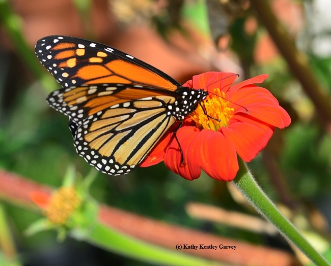Side view of a  monarch, Danaus plexippus,on a Mexican sunflower, Tithonia. (Photo by Kathy Keatley Garvey)