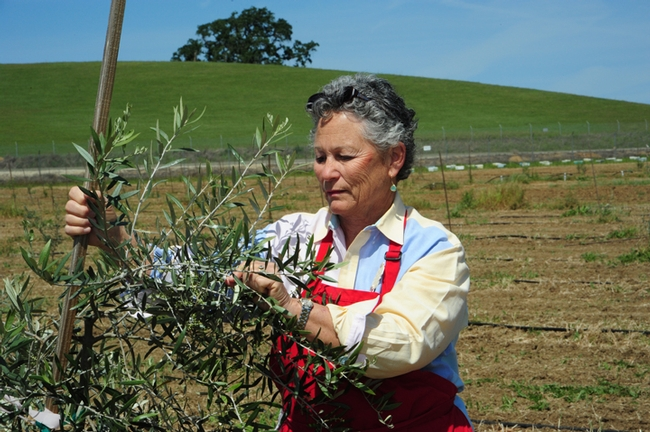 Ann Sievers checks an olive tree. The apiary is in the background.(Photo by Kathy Keatley Garvey)