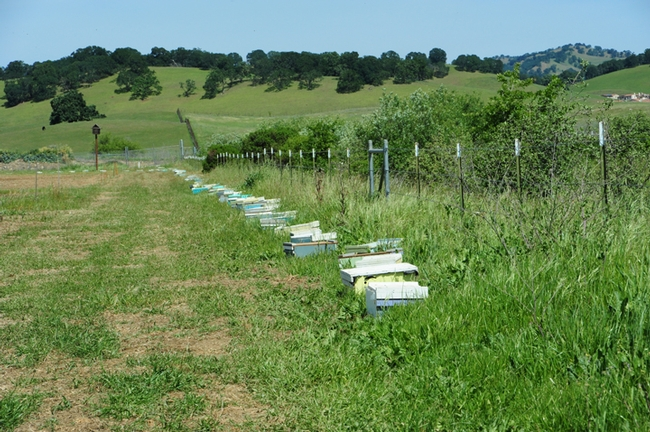 Bees are thriving at IL Fiorello. (Photo by Kathy Keatley Garvey)