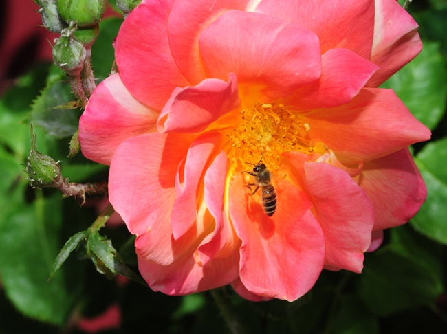 A honey bee foraging on a rose at the entrance to IL Fiorello. (Photo by Kathy Keatley Garvey)
