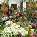 It was a mix of pollinators and people at the Pollinator Pavilion during UC Davis Picnic Day. Graduate student Rei Scampavia provided the display in Briggs Hall. (Photo by Kathy Keatley Garvey)