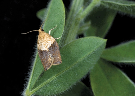 LIGHT BROWN APPLE MOTH (adult shown) is a native of Australia. Its larvae have voracious appetites and feed on more than 2000 plant species. (Photo courtesy of the U.S. Department of Agriculture)