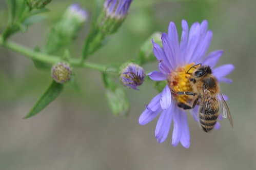 HONEY BEE foraging in a patch of asters at the Harry H. Laidlaw Jr. Honey Bee Research Facility, UC Davis. (Photo by Kathy Keatley Garvey)