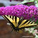 Papilio rutulus, lands on a butterfly bush. Note the stink bug on top. (Photo by Kathy Keatley Garvey)