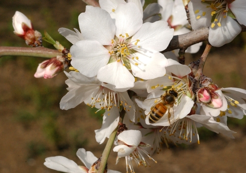 HONEY BEE working an almond blossom. (Photo by Kathy Keatley Garvey)