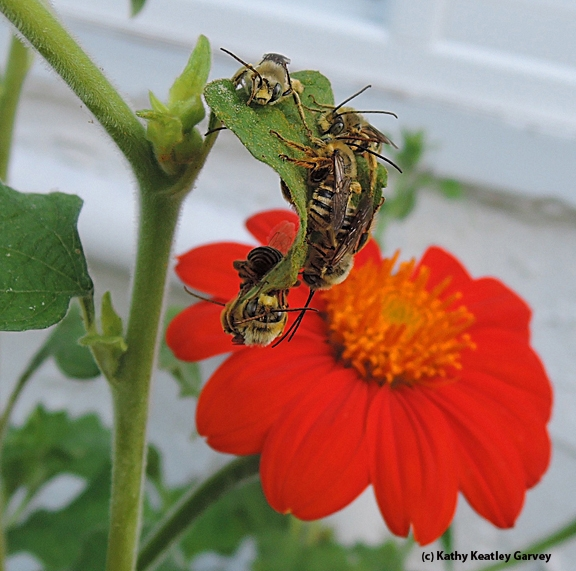 Male sunflower bees, Melissodes robustior, as identified by Robbin Thorp, distinguished emeritus professor of entomology at UC Davis, slumber away on a Mexican sunflower, Tithonia. (Photo by Kathy Keatley Garvey)