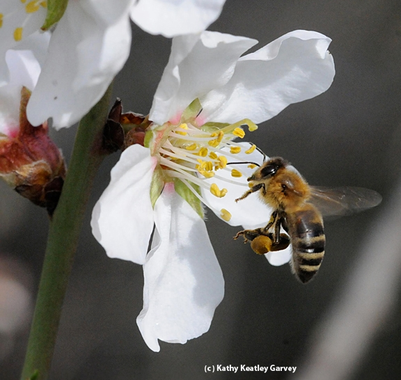 Mead makers have the honey bee to thank for the key ingredient: honey. (Photo by Kathy Keatley Garvey)