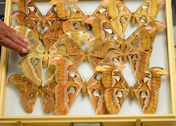 The Atlas moth, Attacus atlas, is considered the largest moth in the world. It's on display at the Bohart Museum. (Photo by Kathy Keatley Garvey)