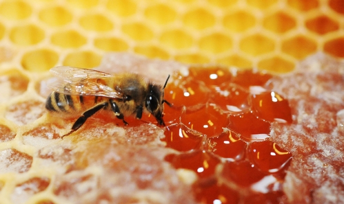 HONEY is one of the oldest foods in existence. Jars of honey, as old as 3,300 years, have been found in Egyptian tombs.  (Photo by Kathy Keatley Garvey)