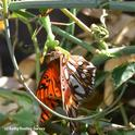 A praying mantis snares a newly emerged Gulf Fritillary butterfly. (Photo by Kathy Keatley Garvey)