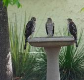 Three's company! Three juvenile Cooper's hawks, as identified by Andrew Engilis, Jr. curator of the UC Davis Museum of Wildlife and Fish Biology,cooling off in an urban birdbath in Vacaville. (Photo by Kathy Keatley Garvey)