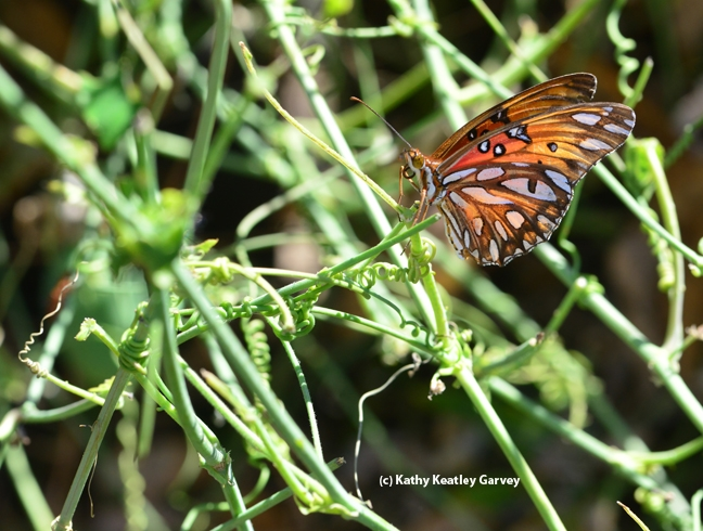 A Gulf Fritillary gets ready to lay an egg. (Photo by Kathy Keatley Garvey)