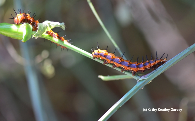 Gulf Fritillary caterpillars defoliating the passionflower vine. (Photo by Kathy Keatley Garvey)