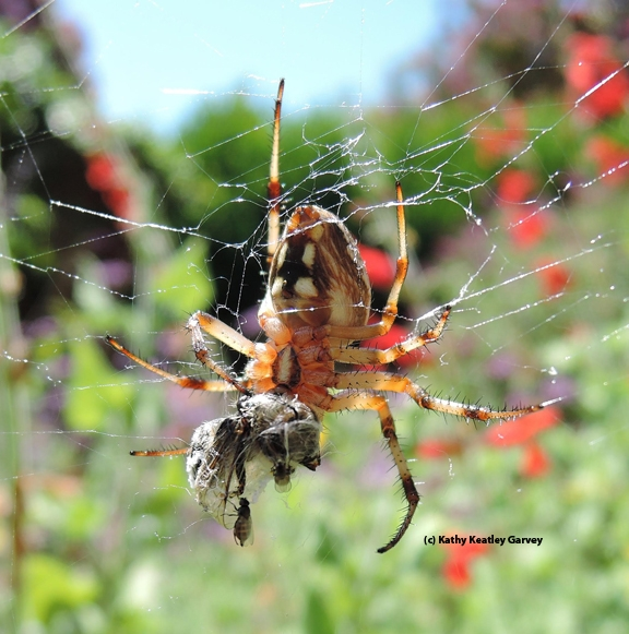 A freeloader fly dines on a bee freshly killed by a garden spider. (Photo by Kathy Keatley Garvey)