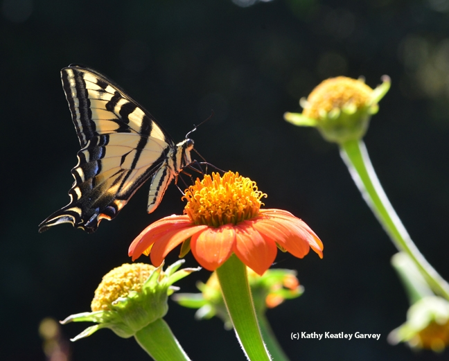 n artist's depiction of the Western tiger swallowtail (above) is one of the exhibits in McCormack Hall, Solano County Fair. (Photo by Kathy Keatley Garvey)