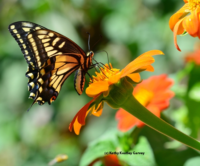 Anise Swallowtail (Papilio zelicaon) on Tithonia. (Photo by Kathy Keatley Garvey)